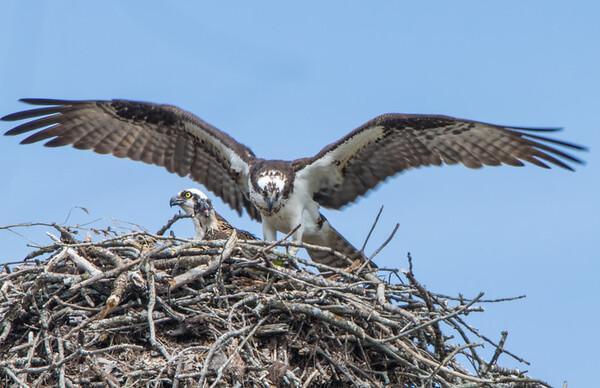 osprey  sm     16