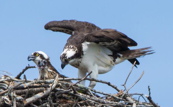 osprey   sm    14