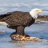 eagle         1911