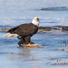 eagle         811