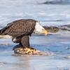 eagle         1311