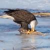 eagle         2311