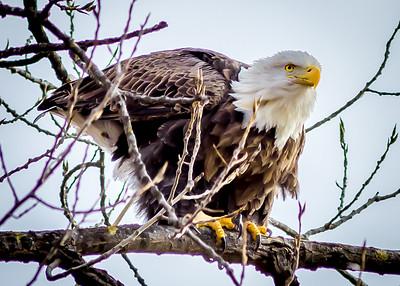 Eagles Below Bagnell Dam-41