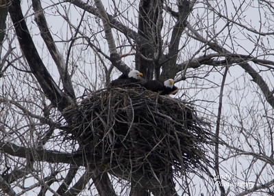 Adult Bald Eagle pair on the east side of Loess Bluffs