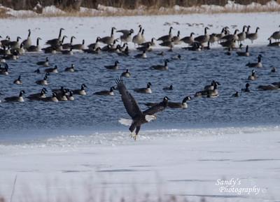 Eagle at Pony Creek Lake