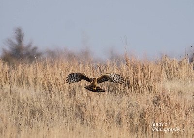 Northern Harrier - female at Pony Creek Lake