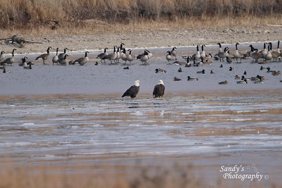Eagles with Canada Geese and Mallard ducks in the background at Pony Creek Lake.