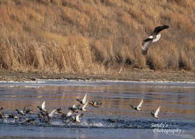 Eagle and ducks