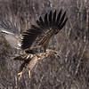 Immature White-tailed Eagle