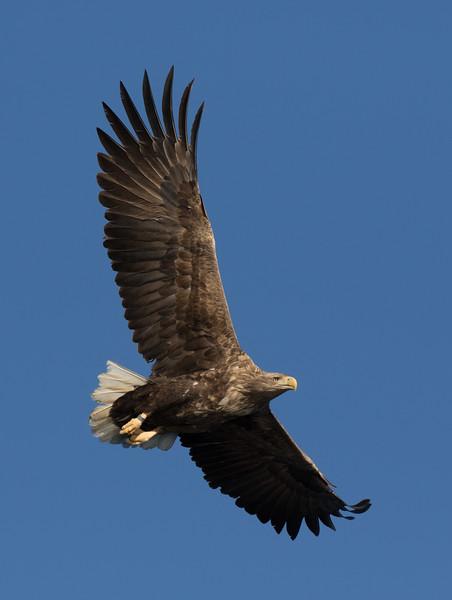 White-tailed Eagle in Brennvika, Steigen
