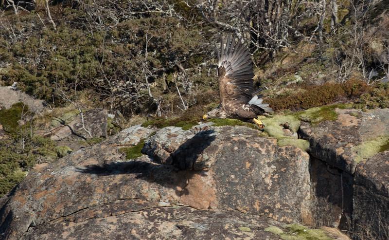 White-tailed Eagle in Okssundet