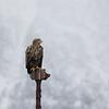 White-tailed Eagle near Finnoy