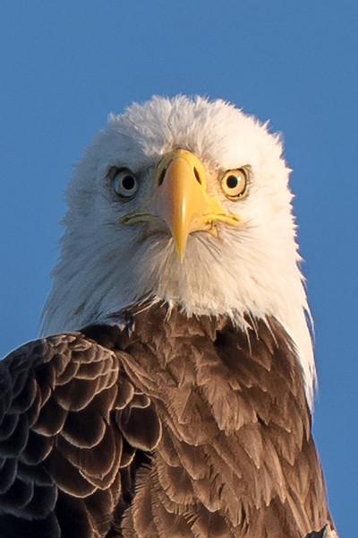 Bald Eagle 3969
