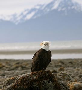 IMG_0540 copy Alaska Bald Eagles