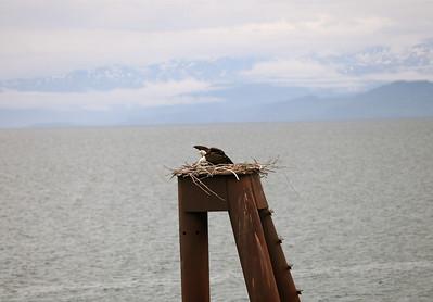 IMG_0858 Homer, Alaska Bald Eagles Alaska Bald Eagles