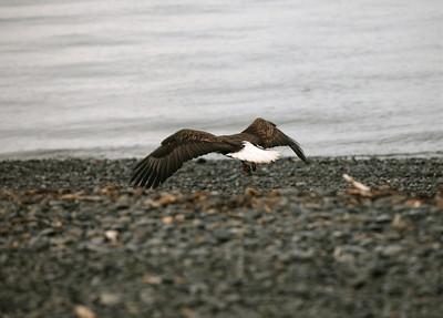 IMG_0394 Homer, Alaska Bald Eagles Alaska Bald Eagles