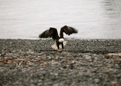 IMG_0408 Homer, Alaska Bald Eagles Alaska Bald Eagles