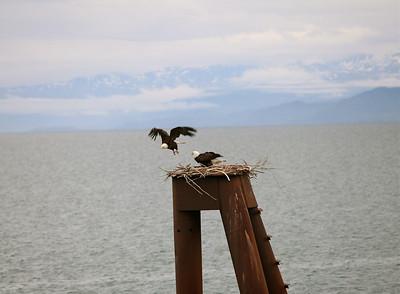 IMG_0860 Homer, Alaska Bald Eagles Alaska Bald Eagles