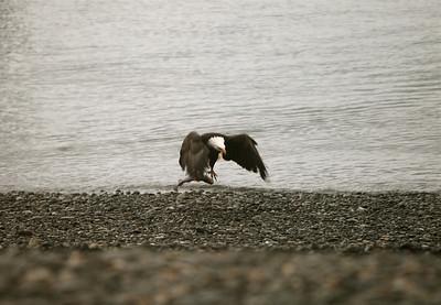 IMG_0375 Homer, Alaska Bald Eagles Alaska Bald Eagles