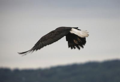 IMG_0821 Homer, Alaska Bald Eagles Alaska Bald Eagles