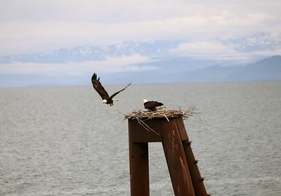 IMG_0861 Homer, Alaska Bald Eagles Alaska Bald Eagles