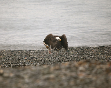Homer, Alaska Bald Eagles Alaska Bald Eagles
