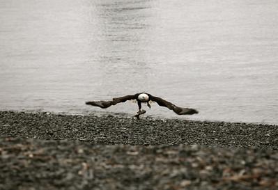 IMG_0402 Homer, Alaska Bald Eagles Alaska Bald Eagles