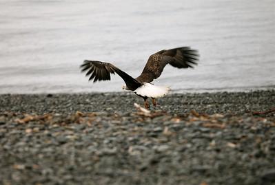 IMG_0393 Homer, Alaska Bald Eagles Alaska Bald Eagles