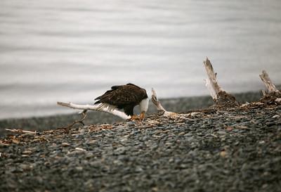IMG_0381 Homer, Alaska Bald Eagles Alaska Bald Eagles