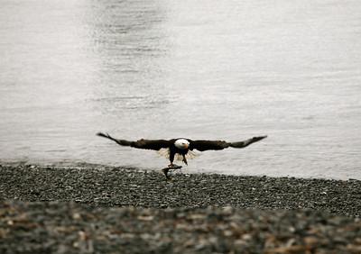 IMG_0403 Homer, Alaska Bald Eagles Alaska Bald Eagles