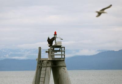 IMG_0942 copy Homer, Alaska Bald Eagles Alaska Bald Eagles