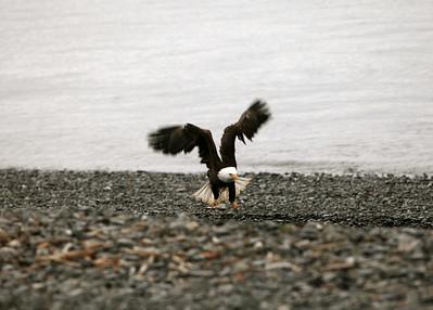 IMG_0407 Homer, Alaska Bald Eagles Alaska Bald Eagles
