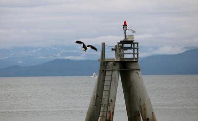 IMG_0946 copy Homer, Alaska Bald Eagles Alaska Bald Eagles