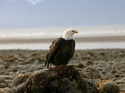 IMG_0534 copy Alaska Bald Eagles