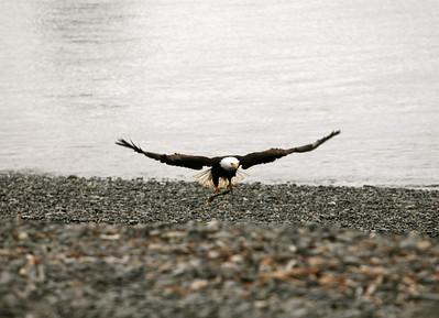 IMG_0405 Homer, Alaska Bald Eagles Alaska Bald Eagles