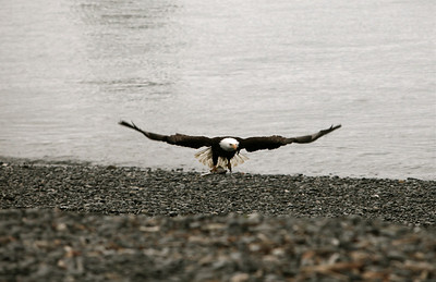 IMG_0404 Homer, Alaska Bald Eagles Alaska Bald Eagles