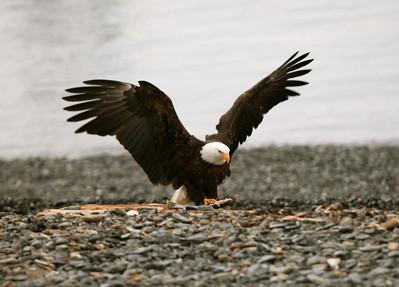 IMG_0413 copy Homer, Alaska Bald Eagles Alaska Bald Eagles