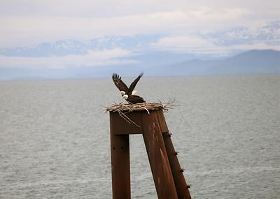 IMG_0859 Homer, Alaska Bald Eagles Alaska Bald Eagles