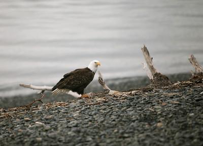 IMG_0384 Homer, Alaska Bald Eagles Alaska Bald Eagles