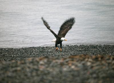 IMG_0379 Homer, Alaska Bald Eagles Alaska Bald Eagles
