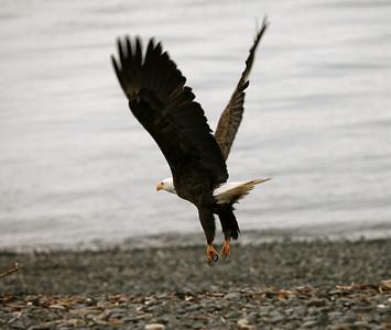 IMG_0392 copy Alaska Bald Eagles