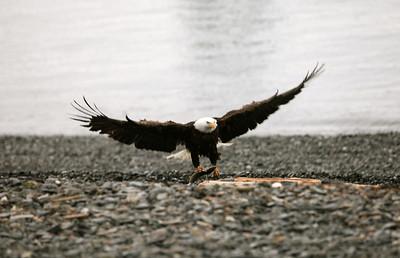 IMG_0410 Homer, Alaska Bald Eagles Alaska Bald Eagles