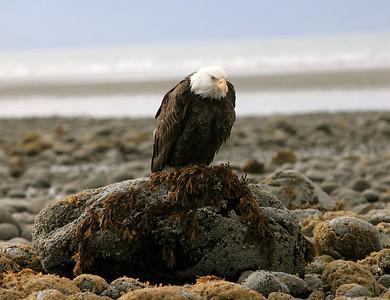 IMG_0533 copy Alaska Bald Eagles