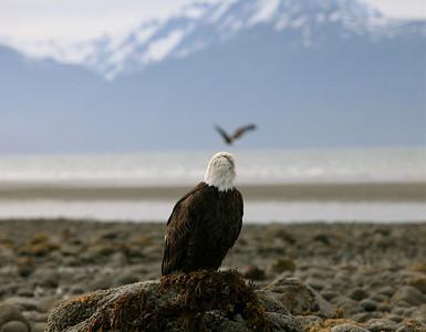 IMG_0539 Homer, Alaska Bald Eagles Alaska Bald Eagles