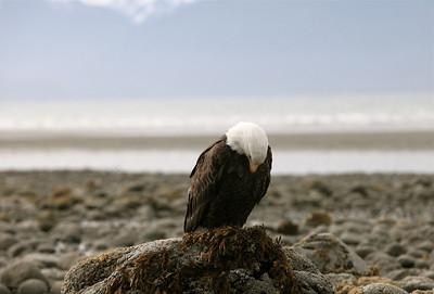 IMG_0532 Alaska Bald Eagles