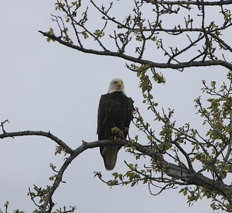 IMG_0635 Homer, Alaska Bald Eagles Alaska Bald Eagles