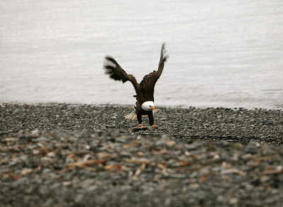 IMG_0406 Homer, Alaska Bald Eagles Alaska Bald Eagles