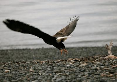 IMG_0391 Homer, Alaska Bald Eagles Alaska Bald Eagles