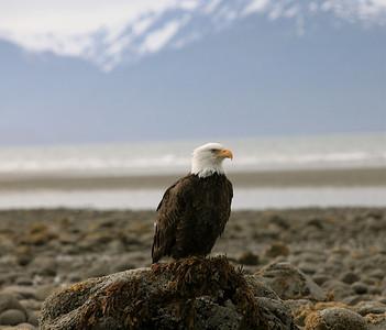 IMG_0535 Homer, Alaska Bald Eagles Alaska Bald Eagles