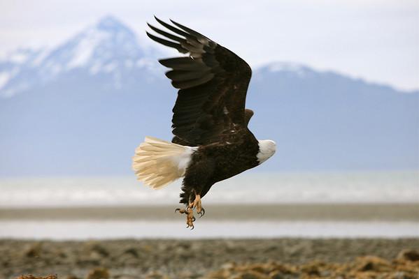 Bald Eagle in Homer Alaska....take off!